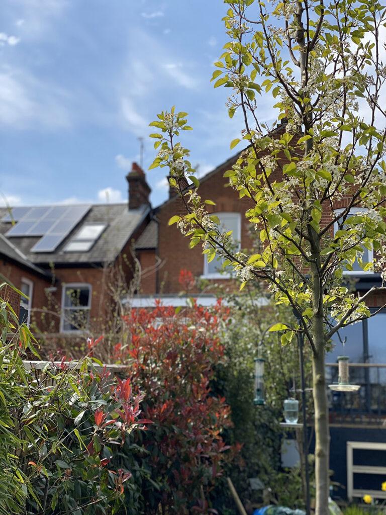 ornamental pear tree for garden privacy screening idea
