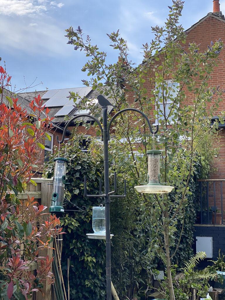Pyrus Calleryana Chanticleer pear for garden privacy screen